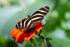 Egzotyczny motyl na pomarańczowym kwiacie Obrazy Stock