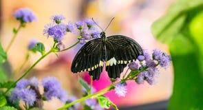 Egzotyczny motyl przy Montreal ogródem botanicznym Obrazy Royalty Free