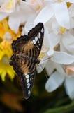 Egzotyczny motyl w plastikowym kwiacie Obrazy Stock