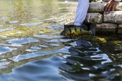 Egzotyczny Pawi bas fotografia stock