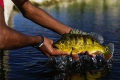 Egzotyczny Pawi bas zdjęcie stock