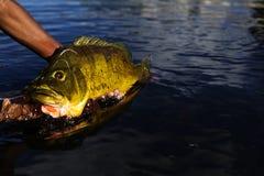 Egzotyczny Pawi bas zdjęcia stock