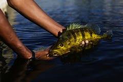 Egzotyczny Pawi bas obraz stock