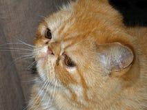 Egzotyczny Perski kot zdrowy zdjęcie royalty free