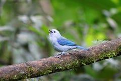Egzotyczny tropikalny błękitny barwiony ptak w Mindo, Ekwador Zdjęcia Royalty Free