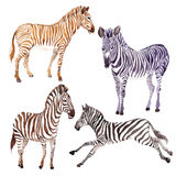 Egzotyczny zebry dzikie zwierzę w akwarela stylu odizolowywającym Zdjęcia Royalty Free