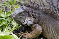 Egzotyczny zwierzę zielony zamknięta zielona iguana Gada portret Wildl Zdjęcie Royalty Free