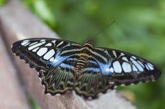 egzotycznych motyli Obraz Stock