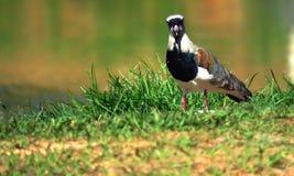 egzotycznych ptaków Vanellus chilensis obraz stock