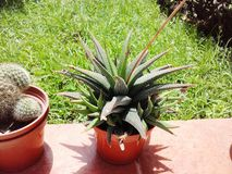 Egzotycznych rośliien agawy kaktusowy ogród Zdjęcie Royalty Free
