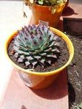 Egzotycznych rośliien agawy kaktusowy ogród Zdjęcia Royalty Free