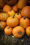 Pumpkin Pile. Freshly picked large orange pumpkins in a pile. Vertical orientation. A great background image royalty free stock photography