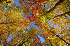 Autumn Tree Canopy. Looking up towards the treetop canopy on a clear autumn day during the leaf colour change royalty free stock image