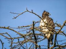 Eheadler, der auf die Oberseite des afrikanischen Baums, Kenia sitzt Lizenzfreie Stockbilder