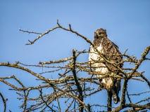 Eheadler, der auf die Oberseite des afrikanischen Baums, Kenia sitzt Stockbilder