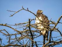 Eheadler, der auf die Oberseite des afrikanischen Baums, Kenia sitzt Lizenzfreie Stockfotografie