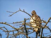 Eheadler, der auf die Oberseite des afrikanischen Baums, Kenia sitzt Lizenzfreies Stockfoto