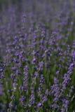 Ehering auf Lavendel lizenzfreies stockbild