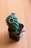 Eheringe auf einem kuktuse Lizenzfreies Stockfoto