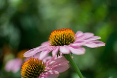 Ehinacea. Two flowers enjoying the sunny day Stock Photography
