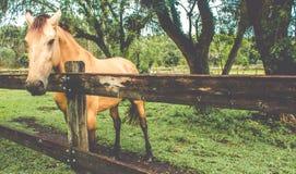 Ehind do cavalo uma cerca de madeira fotos de stock royalty free