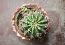 Ehinopsis Cactus (Echinopsis) Stock Images