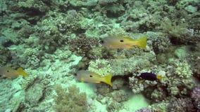 Ehrenberg ` s攫夺者Lutjanus ehrenbergii和黄尾鱼Sailfin带浓味Zebrasoma xanthurum 股票录像