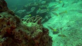 Ehrenberg` s snapper ehrenbergii van Lutjanus in de golf van Fujairah de V.A.E Oman stock videobeelden