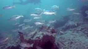 Ehrenberg` s snapper ehrenbergii van Lutjanus in de golf van Fujairah de V.A.E Oman stock footage