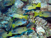 Ehrenberg's Snapper, Lutjanus ehrenbergi at Dangerous Reef, St J Royalty Free Stock Photography