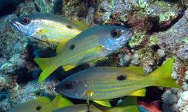 Ehrenberg's Snapper, Lutjanus ehrenbergi at Dangerous Reef, St John's reefs, Red Sea, Egypt Royalty Free Stock Images