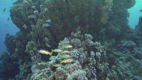 School of Ehrenberg`s snapper Lutjanus ehrenbergii in Red sea stock footage