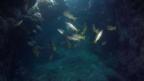 School of Ehrenberg`s snapper Lutjanus ehrenbergii in underwater cave stock video footage