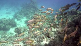 School of Ehrenberg`s snapper Red sea stock video footage