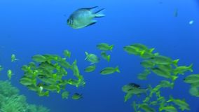 School of Ehrenberg`s snapper in Red sea stock footage