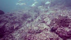 Ehrenbergii de Lutjanus de cordelette du ` s d'Ehrenberg dans le golfe d'Oman du Foudjairah EAU clips vidéos