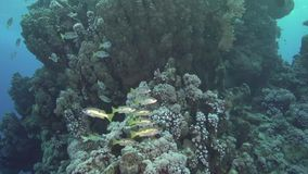 Ehrenbergii del Lutjanus dello snapper del ` s di Ehrenberg in Mar Rosso stock footage
