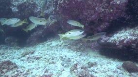 Ehrenbergii del Lutjanus dello snapper del ` s di Ehrenberg nel golfo della Fujairah UAE Oman video d archivio