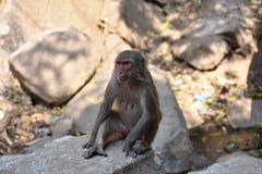 Ehrfürchtige Ansicht der Affemutter sitzend auf einem Stein, der gut schaut Lizenzfreie Stockfotografie