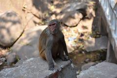 Ehrfürchtige Ansicht der Affemutter sitzend auf einem Stein, der gut schaut Stockfotos