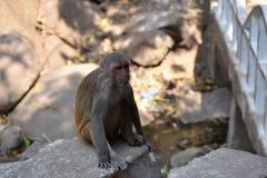 Ehrfürchtige Ansicht der Affemutter sitzend auf einem Stein, der gut schaut Lizenzfreies Stockfoto