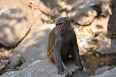 Ehrfürchtige Ansicht der Affemutter sitzend auf einem Stein, der gut schaut Lizenzfreie Stockfotos