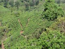 ehrfürchtige Ansicht des Teegartens von der Spitze von Hügeln mit Baumgruppe stockbild