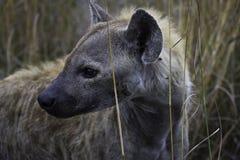 Ehrfürchtige Hyäne stockfotos