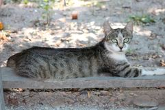 Ehrfürchtige Katze mit Türkisaugen Stockfotografie