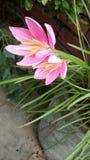 Ehrfürchtige rosa schöne Blumen der Blume preety Natur lizenzfreies stockbild