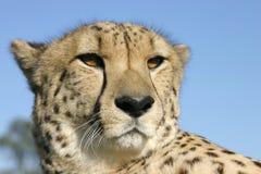 Ehrfürchtiger Gepard Stockfoto