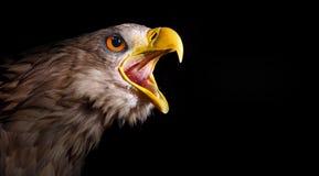 Ehrfürchtiger schreiender Adler. Lizenzfreie Stockfotos
