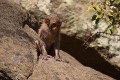 Ehrfürchtiges Schauen eines Affen, der nahe einem Wasserpool spielt Er haftet auf großem geradem Stein an, nachdem er Bad u. dort Lizenzfreie Stockfotos