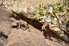 Ehrfürchtiges Schauen eines Affen, der nahe einem Wasserpool spielt Er haftet auf großem geradem Stein an, nachdem er Bad u. dort Stockfotografie